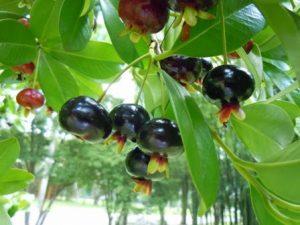 frutas-frutc3adfera-da-mata-atlantica-grumixama-foto-de-ricardo-cardim-direitos-reservados